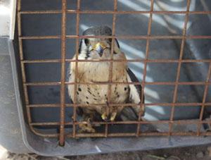 Cernícalo rehabilitado (Falco tinnunculus)