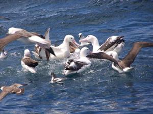 albatros_petreles
