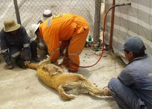 Esquila de vicuña