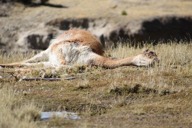 Caza furtiva vicuña 1