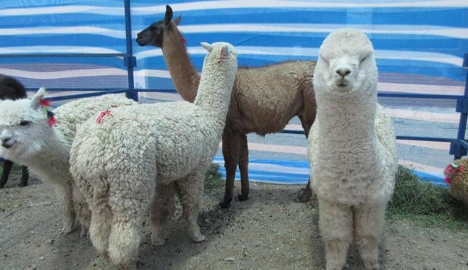 camelidos