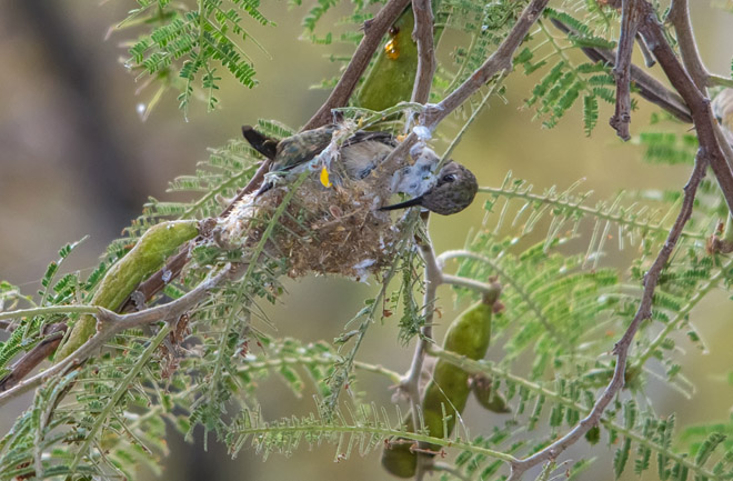 005_IGP4607 pica arica construyendo nido